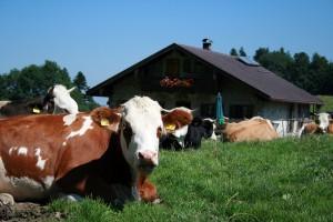 Kühe auf der Almwiese am Heuberg
